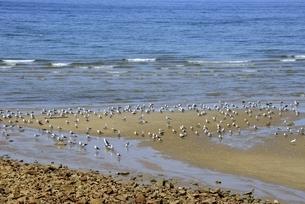 観音寺市,父母ヶ浜に海鳥が生息の写真素材 [FYI04867526]