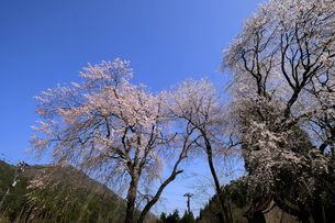 荒谷神社のシダレザクラ群の写真素材 [FYI04867756]