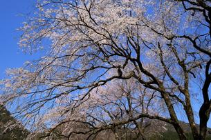 荒谷神社のシダレザクラ群の写真素材 [FYI04867771]