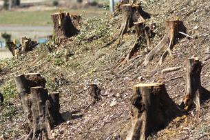 伐採した木の切り株の写真素材 [FYI04867787]