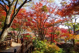 紅葉に彩られた熱海梅園の梅園五橋の写真素材 [FYI04868291]