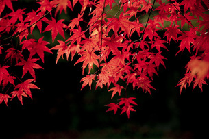 光に透ける紅葉したもみじの写真素材 [FYI04868331]