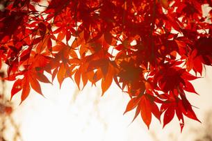 光に透ける紅葉したもみじの写真素材 [FYI04868339]