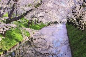 弘前公園の桜と花筏の写真素材 [FYI04868383]