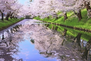 弘前公園の桜と花筏の写真素材 [FYI04868385]
