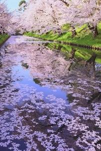 弘前公園の桜と花筏の写真素材 [FYI04868386]