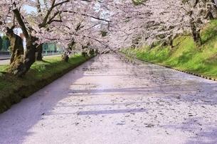 弘前公園の桜と花筏の写真素材 [FYI04868389]