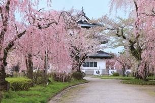 弘前城天守と枝垂れ桜の写真素材 [FYI04868397]