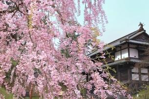 弘前城追手門と枝垂れ桜の写真素材 [FYI04868408]