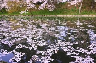 弘前公園の桜と花筏の写真素材 [FYI04868414]
