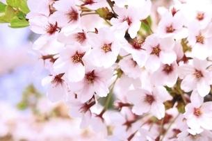 サクラの花の写真素材 [FYI04868430]