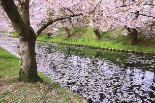 弘前公園の桜と花筏の写真素材 [FYI04868439]