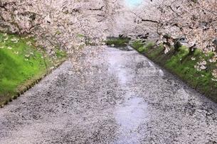 弘前公園の桜と花筏の写真素材 [FYI04868440]