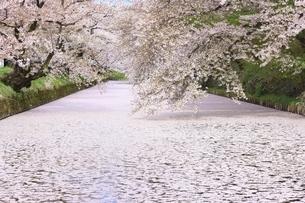弘前公園の桜と花筏の写真素材 [FYI04868443]