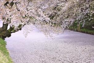 弘前公園の桜と花筏の写真素材 [FYI04868447]