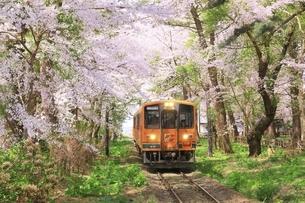 芦野公園の桜と津軽鉄道の写真素材 [FYI04868454]