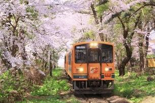 芦野公園の桜と津軽鉄道の写真素材 [FYI04868455]