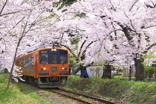 芦野公園の桜と津軽鉄道の写真素材 [FYI04868456]