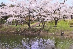 桜咲く芦野公園の写真素材 [FYI04868457]