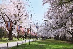 芦野公園の桜並木の写真素材 [FYI04868460]