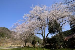 荒谷神社のシダレザクラ群の写真素材 [FYI04868532]