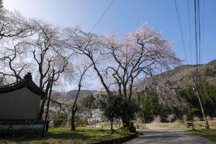 荒谷神社のシダレザクラ群の写真素材 [FYI04868533]