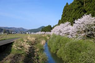 吉野瀬川の桜並木の写真素材 [FYI04868535]