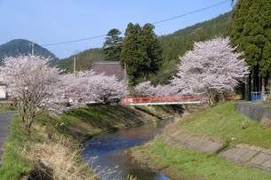 吉野瀬川の桜並木の写真素材 [FYI04868536]