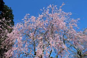 日吉神社の桜の写真素材 [FYI04868541]