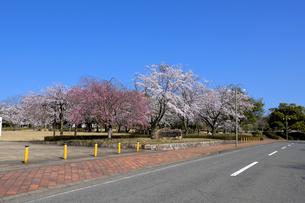 陶芸村の桜の写真素材 [FYI04868544]