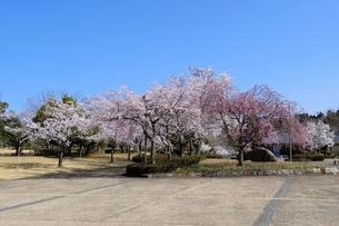 陶芸村の桜の写真素材 [FYI04868545]