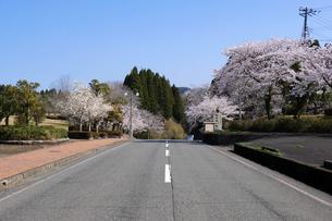 陶芸村の桜の写真素材 [FYI04868546]