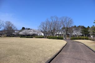 陶芸村の桜の写真素材 [FYI04868547]