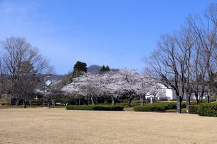 陶芸村の桜の写真素材 [FYI04868548]