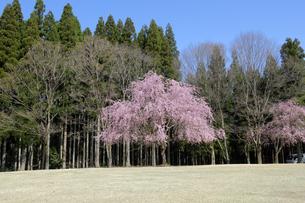 陶芸村の桜の写真素材 [FYI04868549]