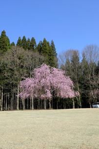 陶芸村の桜の写真素材 [FYI04868550]