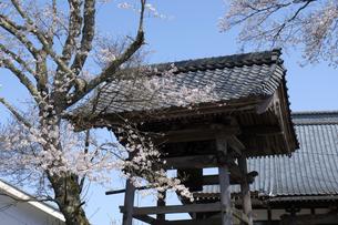 鐘突き堂と桜の写真素材 [FYI04868551]