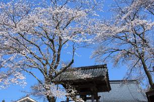 鐘突き堂と桜の写真素材 [FYI04868552]