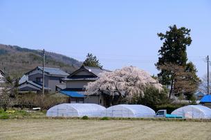 田園に咲く桜の写真素材 [FYI04868554]