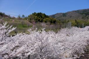 桜の花の写真素材 [FYI04868556]