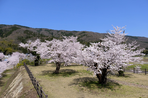 桜の大木の写真素材 [FYI04868557]