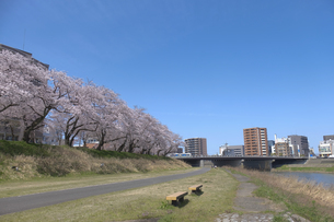 足羽川の桜並木の写真素材 [FYI04868560]