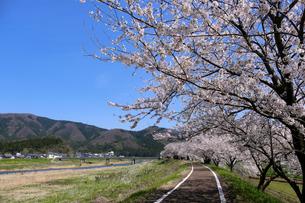 足羽川の桜並木の写真素材 [FYI04868563]