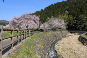 朝倉遺跡の桜の写真素材 [FYI04868564]