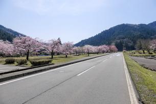 朝倉遺跡の桜の写真素材 [FYI04868566]