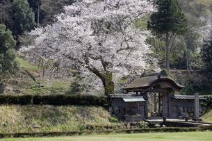 朝倉遺跡唐門の桜の写真素材 [FYI04868568]
