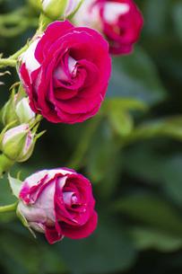 花びらがピンクと白のバラ の写真素材 [FYI04868640]