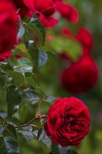真紅のバラの写真素材 [FYI04868641]