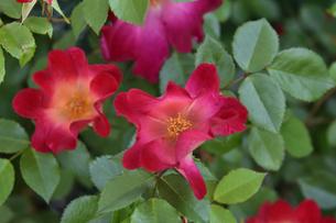 バラ(バラ科バラ属)の赤色の花と葉の写真素材 [FYI04868644]