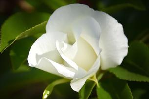 バラ(バラ科バラ属)の白色の花と葉の写真素材 [FYI04868647]